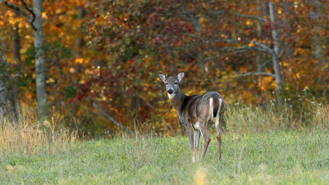 A deer stands in a field by Stone Church Road in Tiverton. AAA Northeast is advising drivers that October through December is the busiest period for car crashes involving deer.
