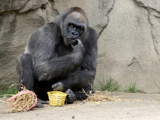 Samantha, a Western lowland gorilla, enjoys her Easter eggs at the Cincinnati Zoo & Botanical Garden in 2016.