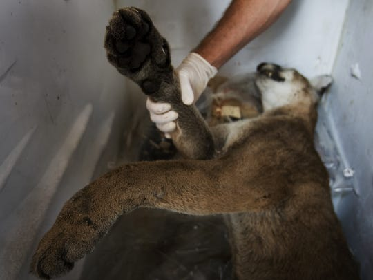 A dead female panther, shortly after being discovered in 2007. It was found at Alico and Corkscrew roads. Florida panthers are predators that chase and kill deer, hogs and similar animals.