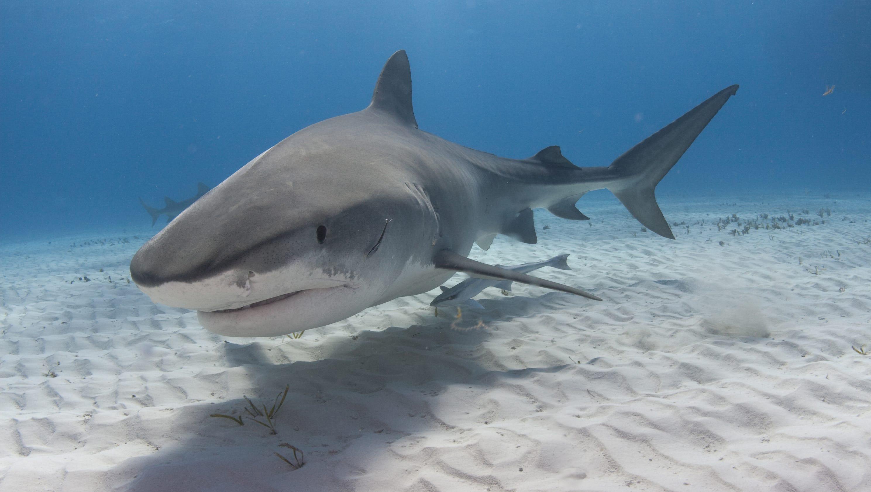 Shark Xxx 104