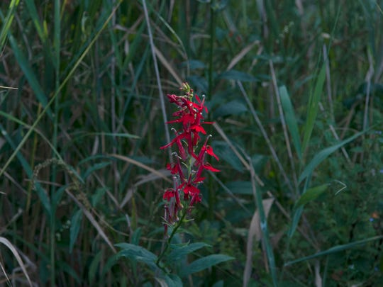 Far more common than its blue counterpart, red lobelia springs up all around the marsh.