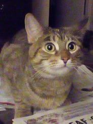 Gracie is a 3-year-old, spayed-female brown/tortoiseshell