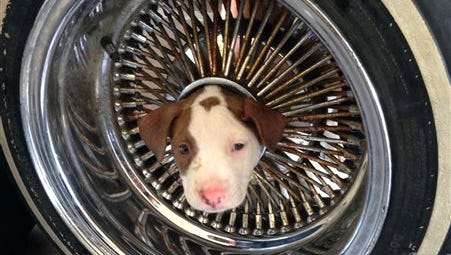 This photo released by the Kern County Fire Department shows a puppy that somehow got his head stuck in the middle of a wheel rim and was brought to a Kern County fire station on Friday, June 20, 2014. Fire Department spokesman Brandon Hill says two firefighters used vegetable oil to ease the dogÂ?s head out of the hole. The little pooch, named Junior, has returned to live with its owner and seven siblings.