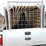 To save steelhead, Oregon trucks sea lions from Willamette Falls to the coast