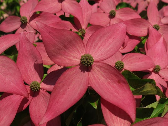 The Scarlet Fire dogwood tree is available for sale
