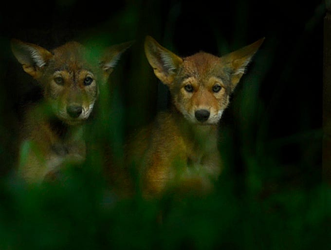 Two Red Wolf pups peek out from an enclosure inside their exhibit at the NEW Zoo in Suamico on Friday, July 18, 2014. The Red Wolf is an extremely endangered species and the NEW Zoo has worked to regrow the population. Evan Siegle/Press-Gazette Media