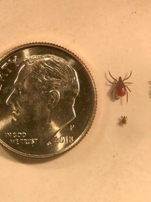 Black-legged tick adults and nymphs compared to a dime. PROVIDED PHOTO