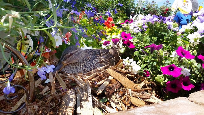 Martha the mallard duck sits on her seven eggs in the garden center at Lewis Drug on West 12th Street on Thursday, June 3, 2016.