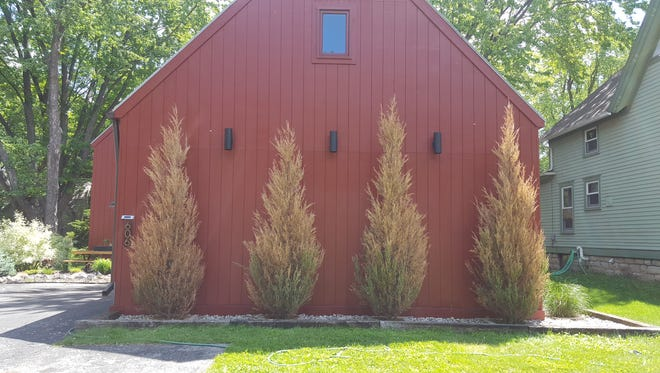 By now, if more than 50 percent of your arborvitae or juniper has brown needles, then it is best to remove the entire plant.