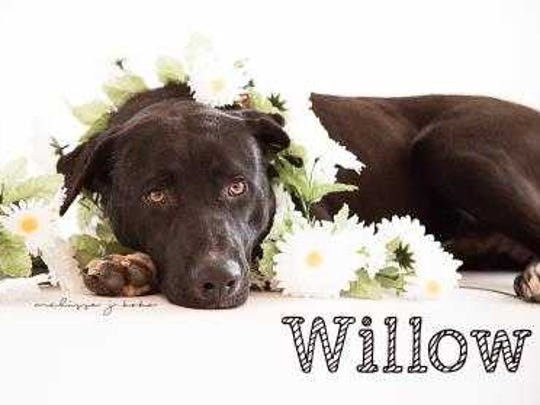 Willow - Male (neutered) pitbull mix, about 2 years old. Intake date: 6/21/2017