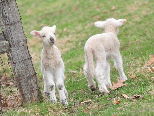 Week-old lambs at Fosterfilelds living history farm located at 73 Kahdena Road, Morris Township.