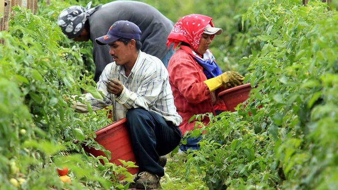 Farmworkers pick tomatoes in Immokalee, Fla., where there is a surge in cases among workers, according to Dr. Alina Alonso, Palm Beach County's health director.