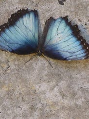 "Dubbed ""The Common Blue Morpho"" from Central and South"