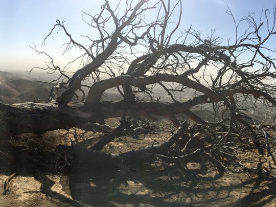 One of trees known as Two Trees in Ventura fell Monday