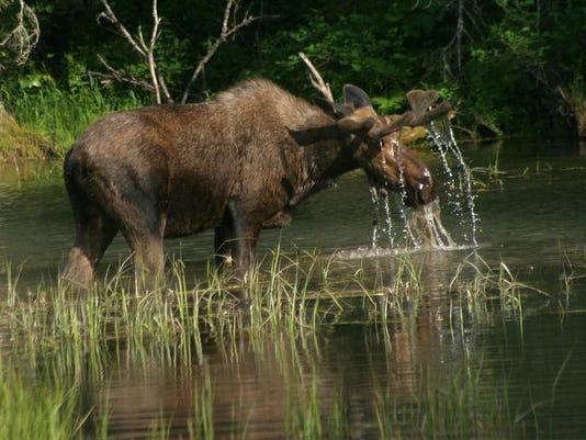 -Moose2.jpg_20090509.jpg