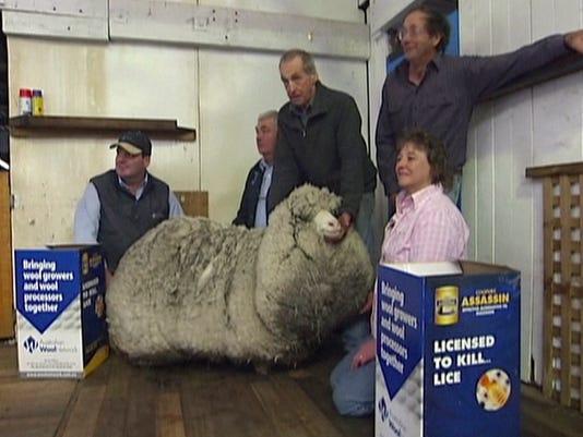 Australia Woolly Sheep (2)