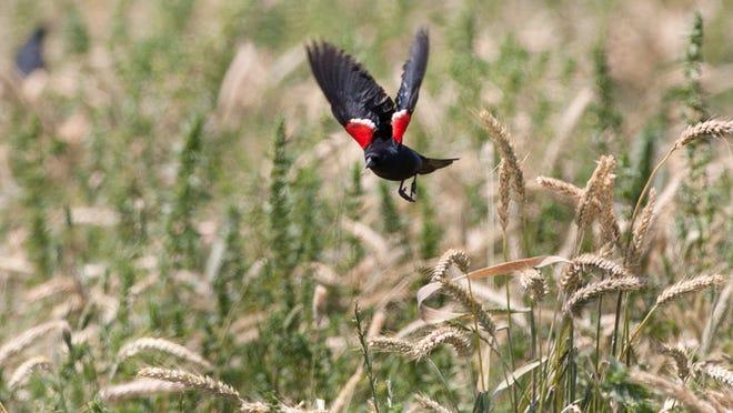 A tricoloredblackbird gathers at a Tipton dairy on Wednesday.