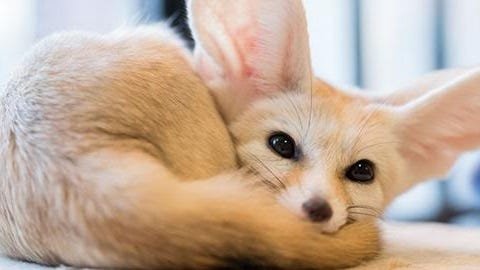 """Milo, the Fennec Fox, will be part of the reduced-capacity """"Amazing Animal Ambassadors"""" show Tuesday at the reopened Cape Cod Museum of Natural History in Brewster."""