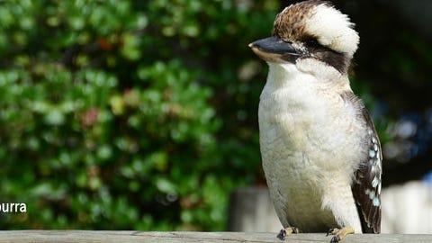 Boomerang the Kookaburra will be among the Animal Ambassadors visiting Thursday at the Cape Cod Museum of Natural History.