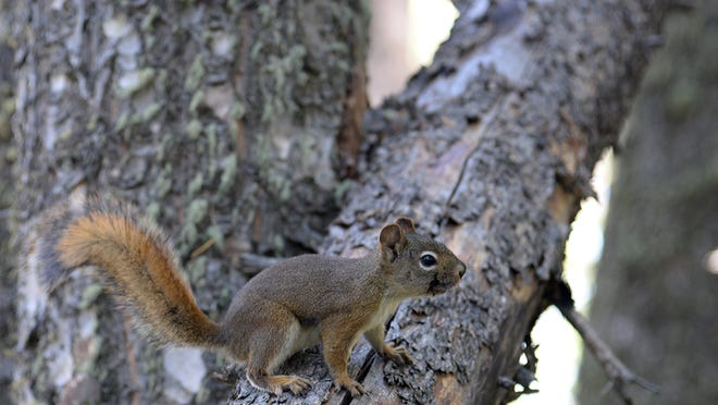 Red squirrels are bold, outspoken workaholics that protect their turf and belongings.