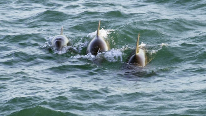 Stakes high in Brevard-  --  -ATLANTIC BOTTLENOSE dolphins swim off Cape Canaveral in the Atlantic Ocean.-  -Text: Atlantic bottlenose dolphin cavort just offshore Cape Canaveral in the Atlantic Ocean.