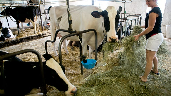 Christine Oehmichen feeds Holsteins hay at her dairy farm in Abbotsford on Monday. The latest U.S. Census of Agriculture says that Clark County leads the state in milk production.