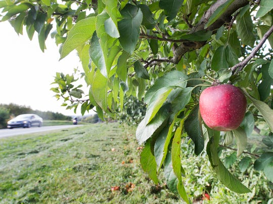 A ripe apple hangs on a tree along Indian Rock Dam Road in York Township near Kenmar Farms.