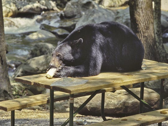 A black bear lays on a picnic table eating a jar of mayonnaise at The Chimneys Picnic Area in the Great Smoky Mountains National Park in this file photo. Park and forest visitors should always keep food items stored in car trunks or bear-proof canisters.