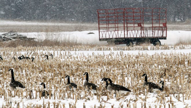 An empty hay wagon sits as a reminder of crops waiting to emerge or be planted while geese enjoy leftovers from harvest. Snow and cold temperatures have put spring fieldwork on hold for much of the state.