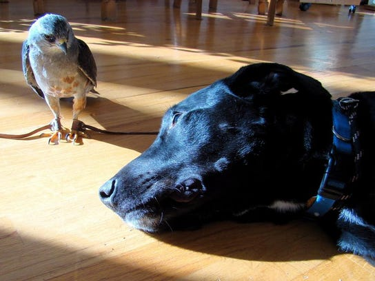 Havana, a disabled Mississippi kite, and Buddy, a black