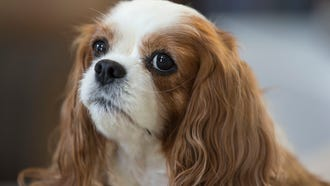 Cathy Cuni of Howell brought her King Charles Cavalier Spaniel to Japan for heart surgery after finding out the dog had a heart murmur along with a severely enlarged heart. 