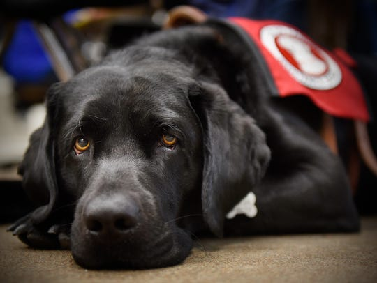 Service dog Quest waits patiently while attending a
