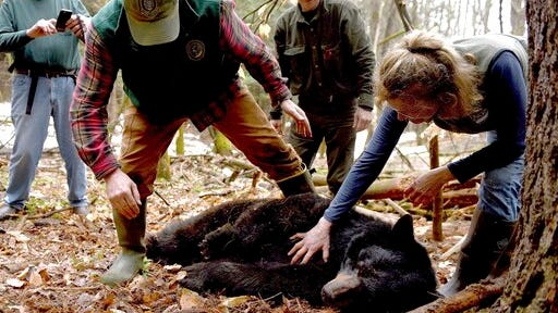 FILE - In this April 13, 2018, file photo, Andrew Timmins, the bear project leader with the New Hampshire Department of Fish and Game, steps over a tranquilized female black bear as Nancy Comeau, right, of the USDA wildlife services, keeps a hand on the bear after it had been moved onto her side in Hanover, N.H. The bear, tagged and fitted with a tracking collar, was later relocated to far northern New Hampshire. But in May 2019, the bear returned to her home turf in Hanover. In spring 2020, the bear is preparing to emerge from hibernation in her den with three new cubs.