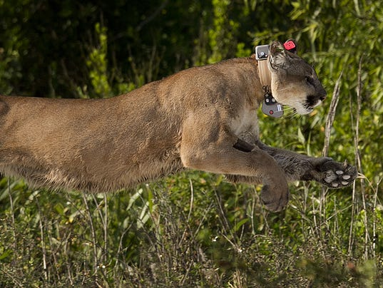florida should protect panthers to preserve legacy On a national preserve at the edge of the everglades, oil exploration is threatening fragile habitat and endangered species, from woodpeckers to panthers.
