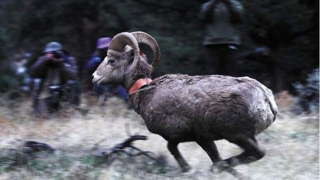 After being netted in Grass Valley, 10 bighorn sheep are released at Longview Ranch in Kimberly.