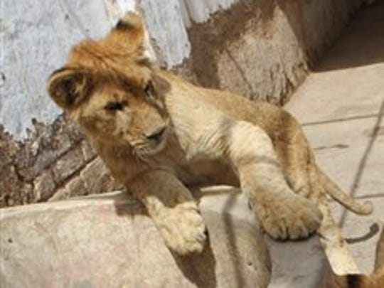 A 9-month-old cub of African lioness named Rani or Queen, who recently gave birth to five cubs.