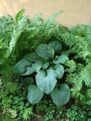 Mixed textures with large hosta among ferns- C Kagan