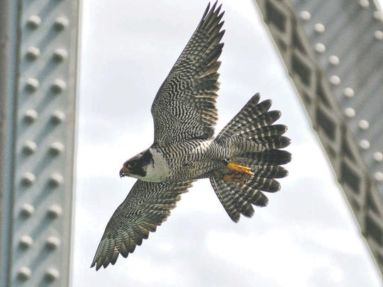 A peregrine falcon flies near the Blue Water Bridge. Tonga, the female of the pair, has been nesting at the bridge since 2006.