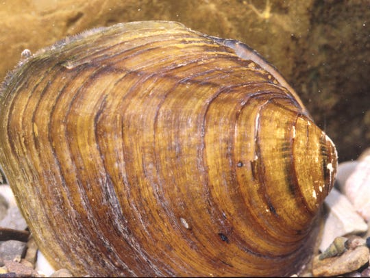 The longsolid mussel found in only two rivers in Western