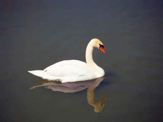 swan reflected in the water