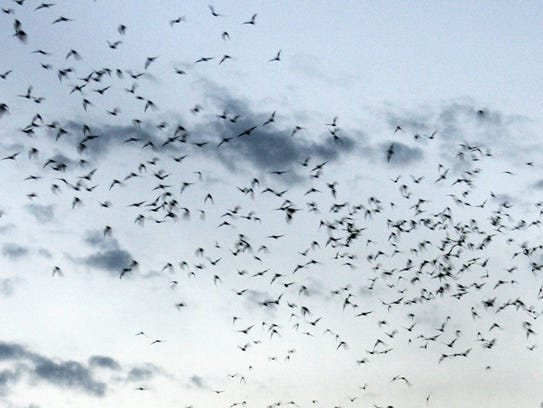 The Mexican free-tailed bat is considered one of the