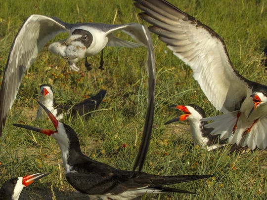 An opportunistic laughing gull steals a chick from a black skimmer's unprotected nest. Disturbing nesting birds is unlawful and subject to a $500 fine.