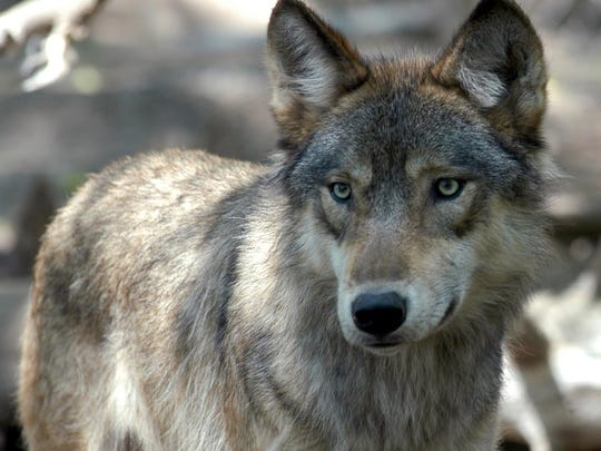 A study in Idaho is attempting to count the number of wolves in Idaho using unusual methods.