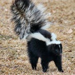 Rabies found in skunk in Rochester Hills, health officials issue warning