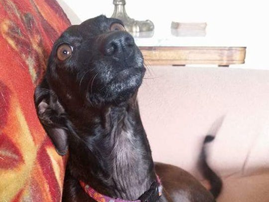 Isis, a 4-year-old whippet, was returned to her owner after being stolen in late April.