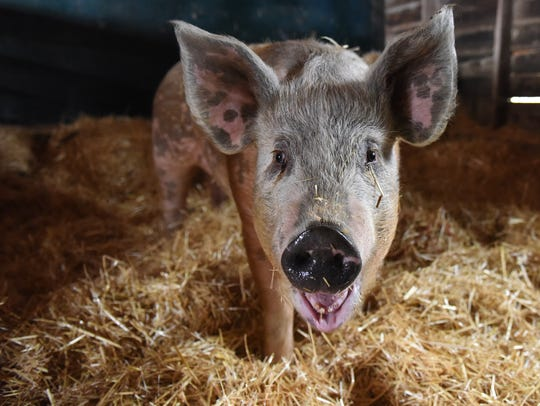 Wally the pig recently survived falling out of a semi