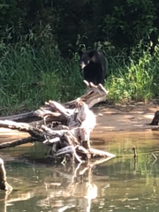 A black bear along the bank of Lake Taneycomo Tuesday,