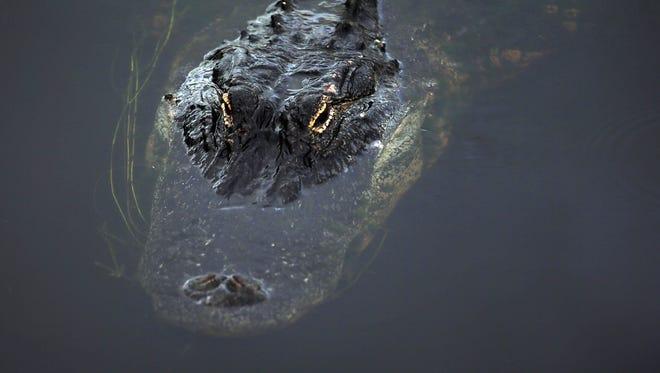 An alligator cruises the water in the Florida Everglades on May 1, 2013 in Boynton Beach, Fla.