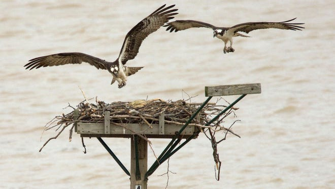 A pair of nesting osprey make use of a nesting platform installed by the Ohio Department of Natural Resources. U.S. Fish and Wildlife Service workers installed a similar platform earlier this year at Ottawa National Wildlife Refuge. The nesting pair have three chicks.