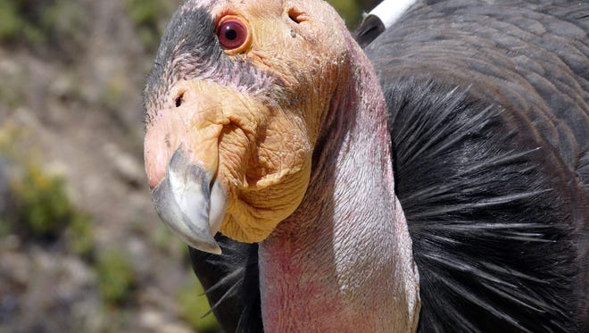 This undated photo provided by the U.S. Fish and Wildlife Service shows a California condor,